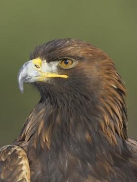 Golden Eagle (Aquila Chrysaetos) Adult Portrait, Cairngorms National Park, Scotland, UK by Pete Cairns