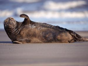 Grey Seal Lying on Beach, UK by Pete Cairns
