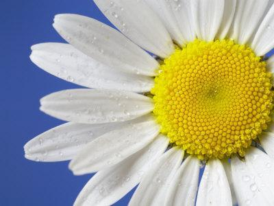 Marguerite / Ox Eye Daisy (Leucanthemum Vulgare) UK