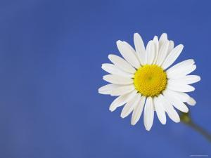 Marguerite / Ox Eye Daisy (Leucanthemum Vulgare) UK by Pete Cairns