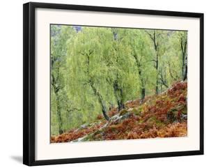 Native Birch Woodland in Autumn, Glenstrathfarrar Nnr, Scotland, UK by Pete Cairns