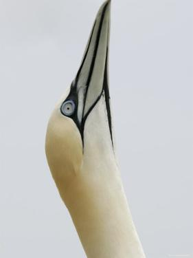Northern Gannet, in Display Posture, Bass Rock, Scotland, UK by Pete Cairns