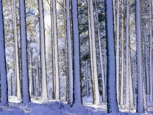 Pine Forest after Snowstorm, Strathspey, Scotland, UK by Pete Cairns