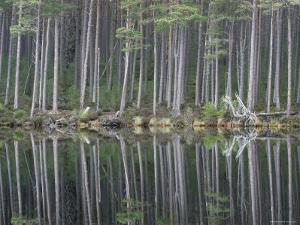 Pine Forest Reflections on Flat Calm Lochan, Cairngorms National Park, Scotland by Pete Cairns