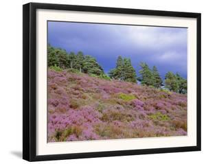 Pine Woodland and Heather, Abernethy RSPB Reserve, Cairngorms National Park, Scotland, UK by Pete Cairns