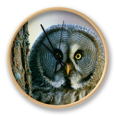 Portrait of Great Grey Owl (Strix Nebulosa) Behind Scots Pine Tree, Scotland, UK