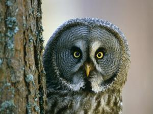 Portrait of Great Grey Owl (Strix Nebulosa) Behind Scots Pine Tree, Scotland, UK by Pete Cairns