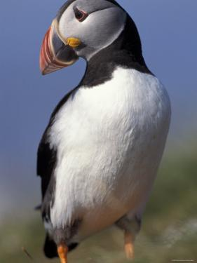 Puffin Portrait, Western Isles, Scotland, UK by Pete Cairns