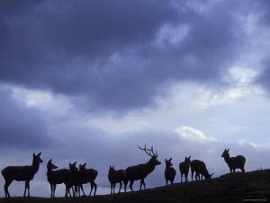 Red Deer Herd Silhouette at Dusk, Strathspey, Scotland, UK by Pete Cairns