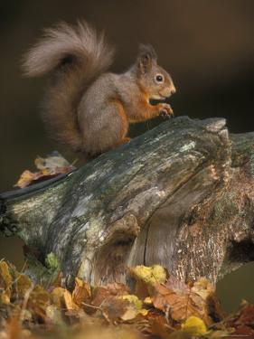 Red Squirrel, Autumn, Cairngorms National Park, Scotland by Pete Cairns