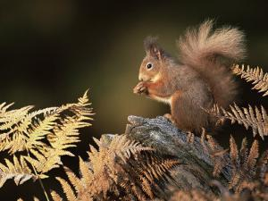 Red Squirrel in Autumn, Scotland, UK Strathspey by Pete Cairns