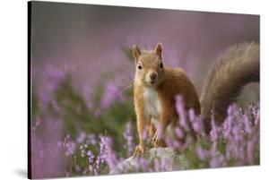 Red Squirrel (Sciurus Vulgaris) in Flowering Heather. Inshriach Forest, Scotland, UK, September by Pete Cairns