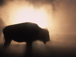 Young Bison, Getting Warmth from Steaming Geyser, Yellowstone, USA by Pete Cairns