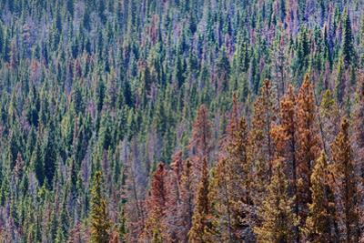 Aerial View of a Beetle-Kill Infested Pine Forest in Eastern Colorado by Pete McBride