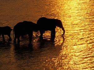 African Elephants, Okavango Delta, Botswana by Pete Oxford