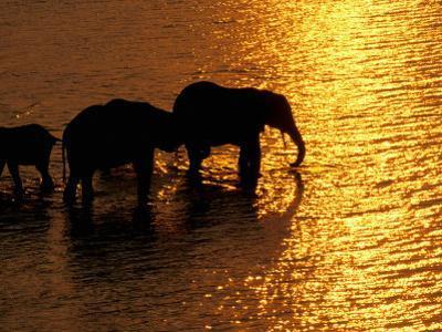 African Elephants, Okavango Delta, Botswana