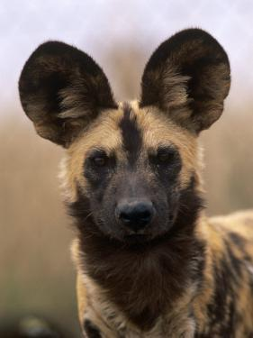 African Wild Dog, Portrait, South Africa by Pete Oxford