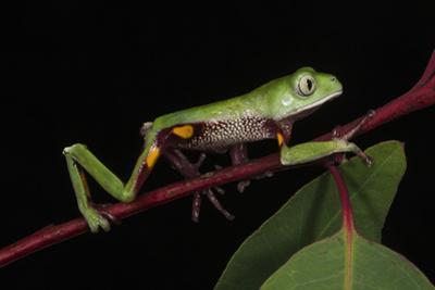 Agua Rica Leaf Frog, Amazon, Ecuador by Pete Oxford
