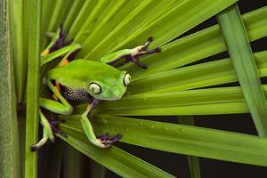 Agua Rica Leaf Frog, Ecuador by Pete Oxford