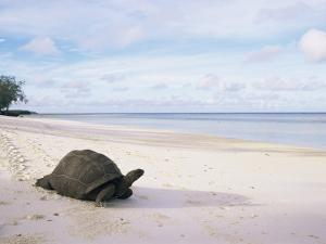 Aldabra Tortoise on Beach, Picard Island, Aldabra, Seychelles by Pete Oxford