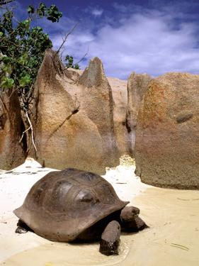 Aldabran Giant Tortoise, Curieuse Island, Seychelles, Africa by Pete Oxford