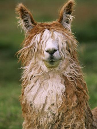 Alpaca Portrait, Altiplano, Bolivia by Pete Oxford