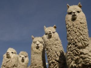 Alpacas, Andes, Ecuador by Pete Oxford