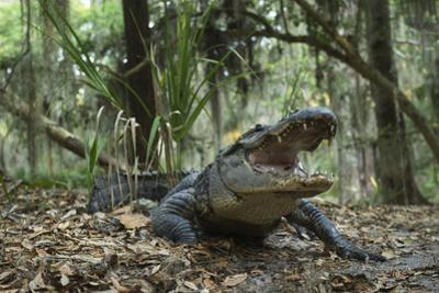 American Alligator in Maritime Forest. Little St Simons Island, Ga, Us by Pete Oxford