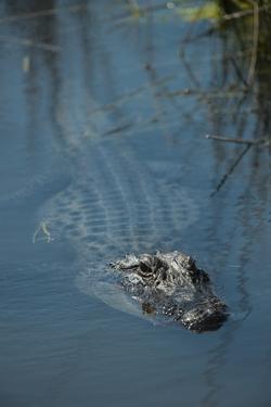 American Alligator Little St Simons Island, Barrier Islands, Georgia by Pete Oxford