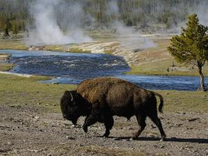 American Bison, Yellowstone National Park, Wyoming, USA by Pete Oxford
