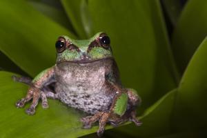 Andean Marsupial Tree Frog, Ecuador by Pete Oxford