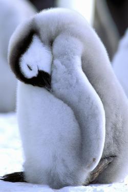 Antarctica, Antarctic Peninsula, Weddell Sea, Atka Bay. Emperor Penguin by Pete Oxford