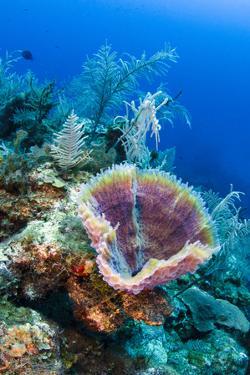 Azure Vase Sponge, Jardines De La Reina National Park Cuba, Caribbean by Pete Oxford