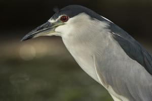 Black-Crowned Night Heron. Georgetown, Guyana by Pete Oxford