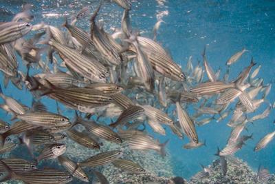 Black Striped Salema, Central Isles, Galapagos, Ecuador by Pete Oxford