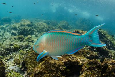 Blue-Chin Parrotfish (Scarus Ghobban), Galapagos Islands, Ecuador by Pete Oxford