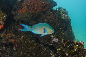 Blue-Chin Parrotfish (Scarus Ghobban) Galapagos Islands, Ecuador by Pete Oxford