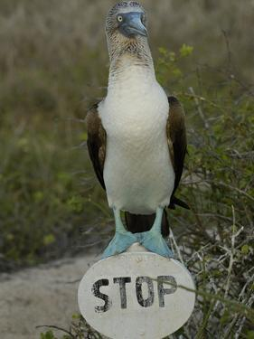 Blue-Footed Booby (Sula Nebouxii) Standing on a Stop Sign, Galapagos Islands by Pete Oxford