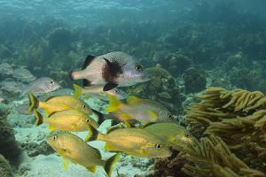 Blue Striped Grunt and Black Margate and Mahogany Snapper, Hol Chan Marine Reserve, Belize by Pete Oxford