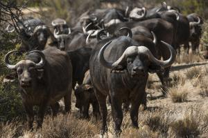 Buffalo, Private Game Ranch, Great Karoo, South Africa by Pete Oxford