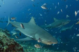 Bull Shark, Commercial Shark Feeding, Benga Lagoon, Viti Levu, Fiji by Pete Oxford
