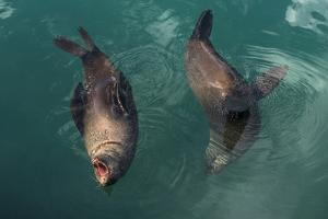 Cape Fur Seal, Hout Bay Harbor, Western Cape, South Africa by Pete Oxford