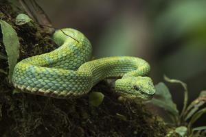 Captive Eyelash Viper, Bothriechis Schlegelii, Coastal Ecuador by Pete Oxford