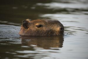 Capybara, Northern Pantanal, Mato Grosso, Brazil by Pete Oxford