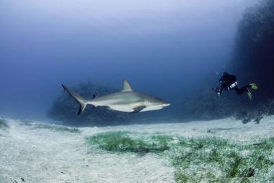 Caribbean Reef Shark, and Diver, Jardines De La Reina National Park by Pete Oxford