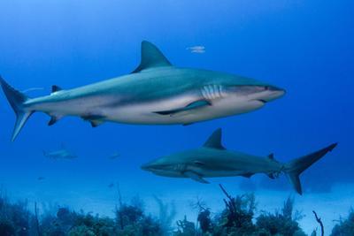Caribbean Reef Shark, Jardines De La Reina National Park, Cuba by Pete Oxford