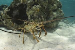 Caribbean Spiny Lobster, Half Moon Caye, Lighthouse Reef, Atoll, Belize by Pete Oxford