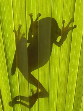 Chachi Tree Frog (Hyla Picturata) Silhouette, Choco Rainforest, Ecuador by Pete Oxford