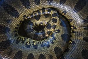 Close Up of Scales of an Anaconda, Guyana by Pete Oxford