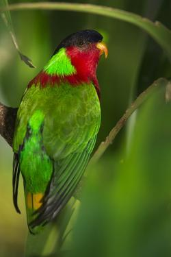 Collared Lory, Endemic to Fiji, Captive by Pete Oxford